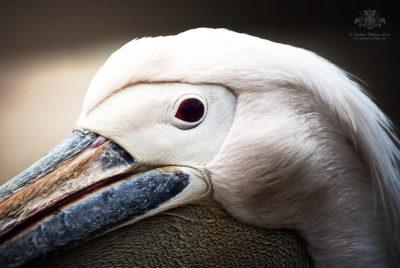 Pelikan (Pelecanidae)