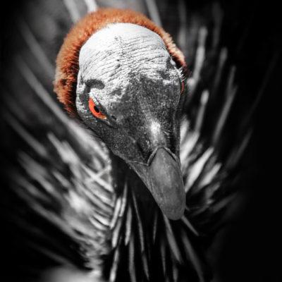 Geierperlhuhn (Acryllium vulturinum)